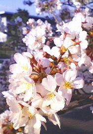 080316-日本武道館(北の丸公園付近)の桜.jpg